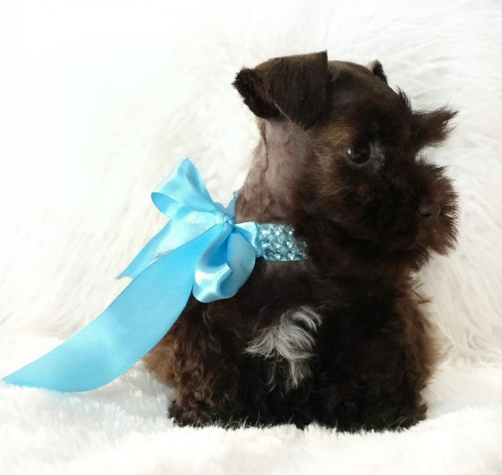 Miniature-Schnauzer-Puppies-For-Sale
