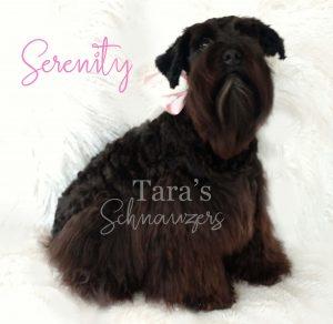 Serenity-taras-schnauzers-mommy