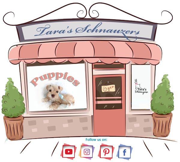 taras_schnauzers_whats_a_puppy_worth