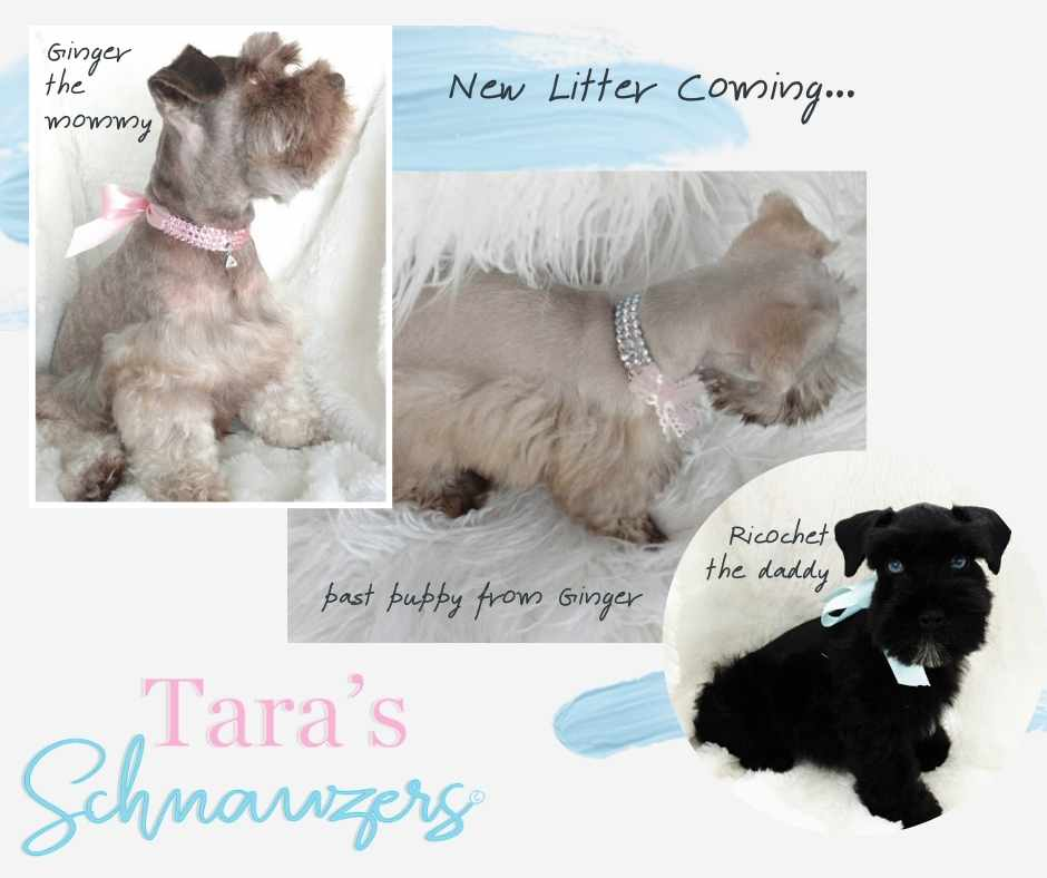 available-miniature-schnauzer-puppies-for-sale-tennessee