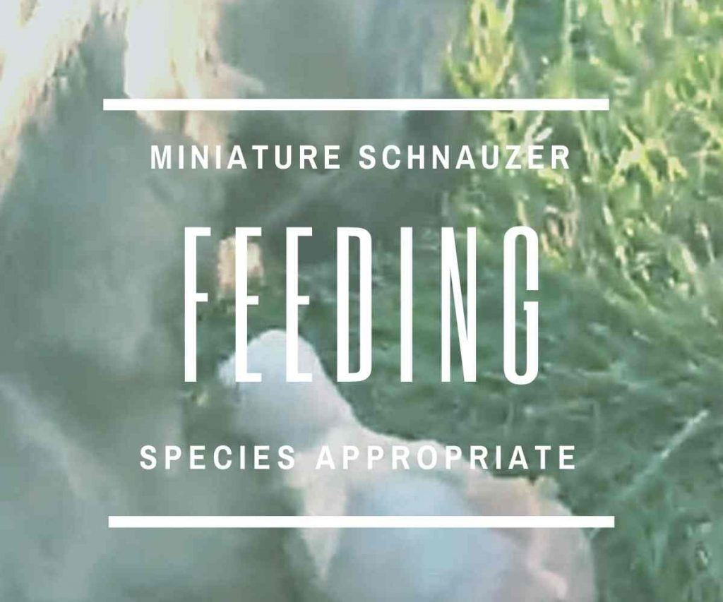 feeding-your-miniature-schnauzer-for-health-and-happiness-raw-feeding-species-approprate