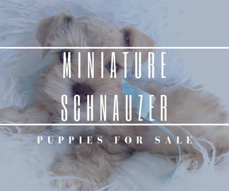 miniature-schnauzer-puppies-for-sale-tennessee