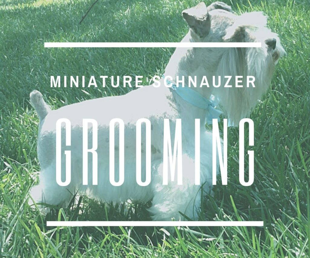 Grooming-Your-Miniature-Schnauzer