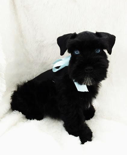 miniature-schnauzer-blue-eyes-black