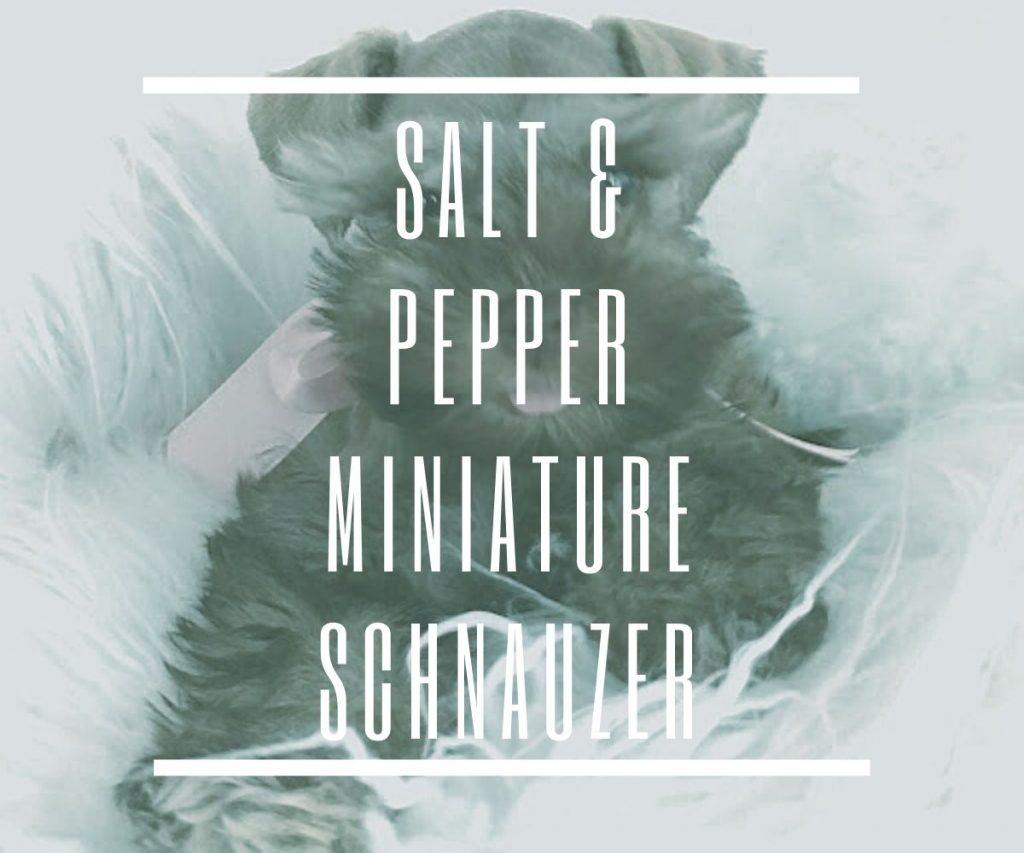 SALT-AND-PEPPER-MINIATURE-SCHNAUZER