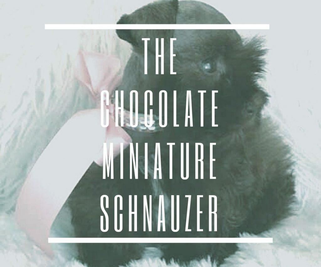 CHOCOLATE-SCHNAUZER