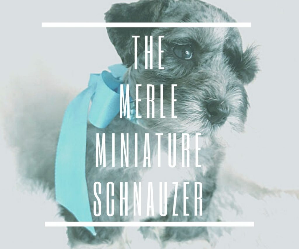 THE-MERLE-MINIATURE-SCHNAUZER