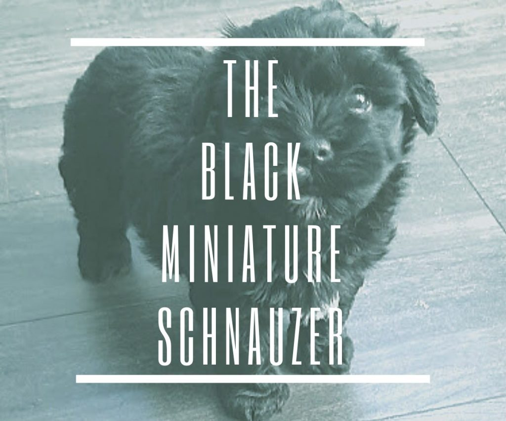 black-miniature-schnauzer