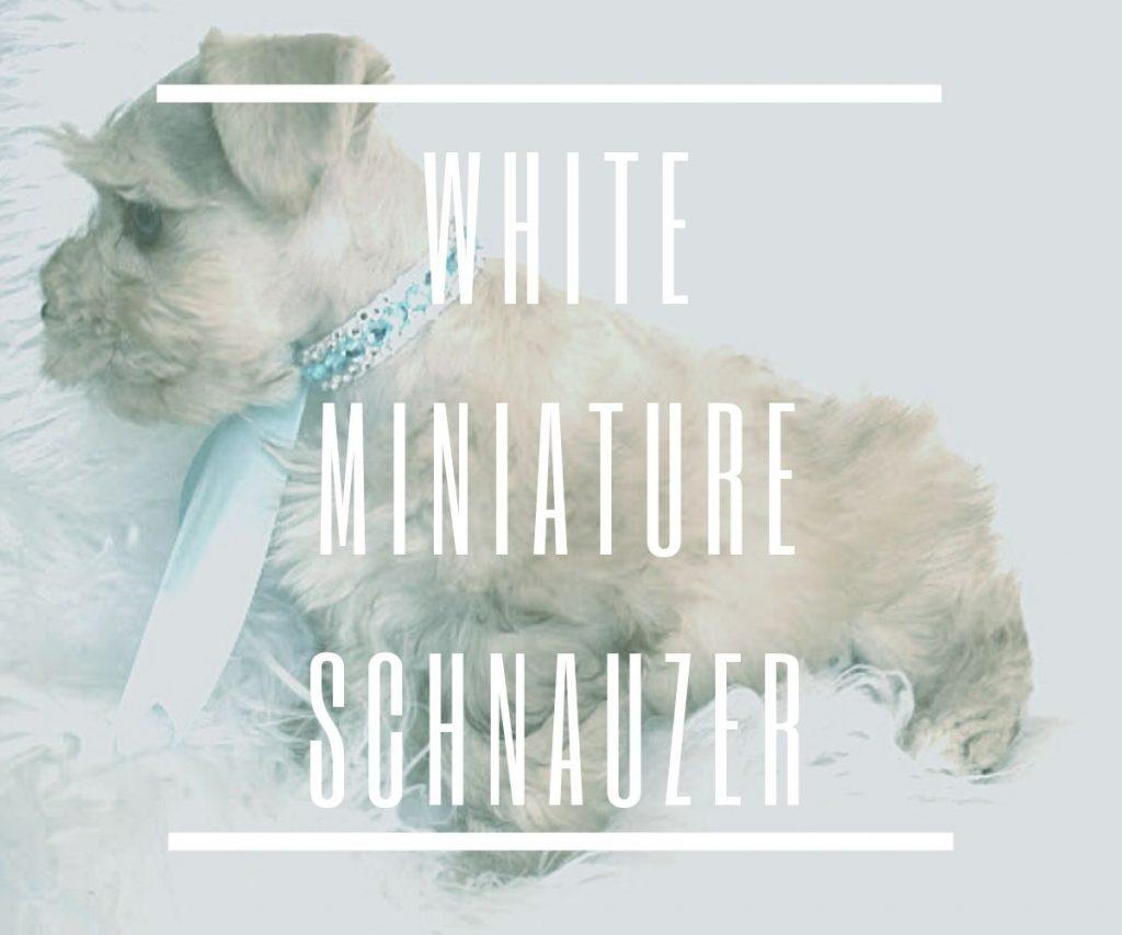 WHITE-MINIATURE-SCHNAUZER