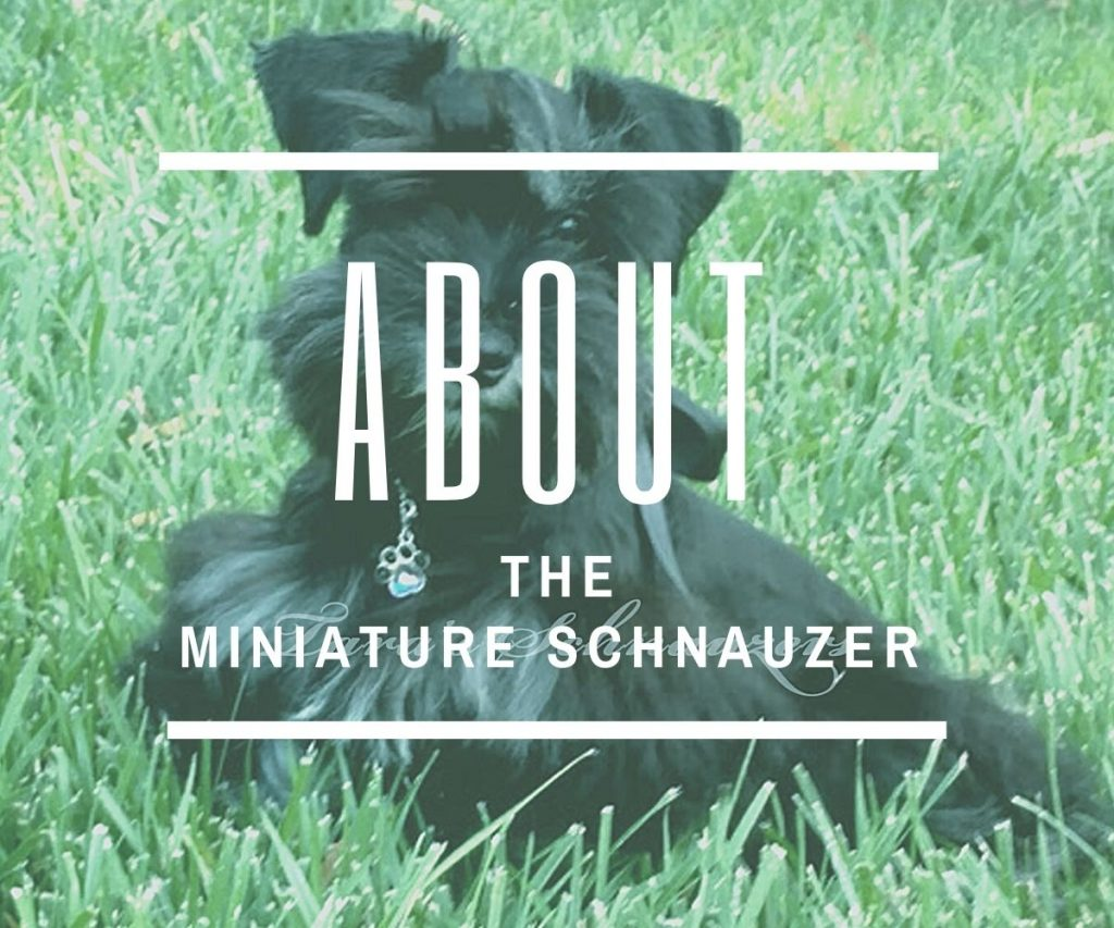 about-the-miniature-schnauzer
