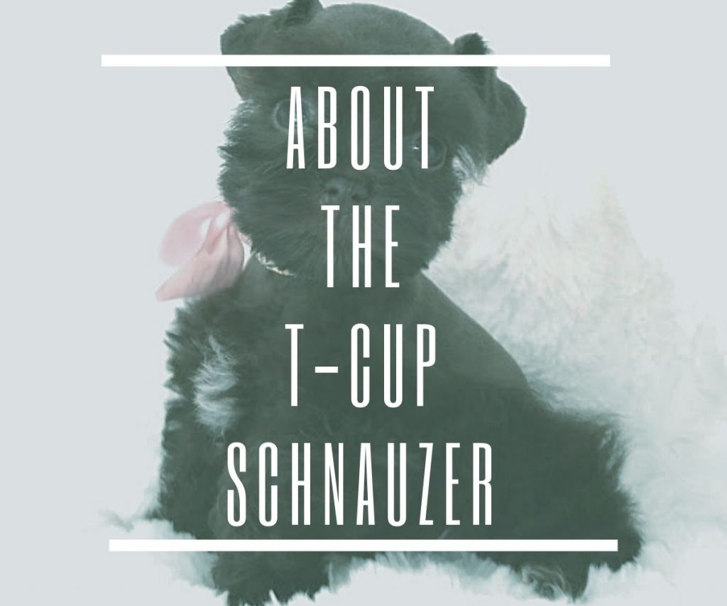 ABOUT-THE-TEACUP-SCHNAUZER