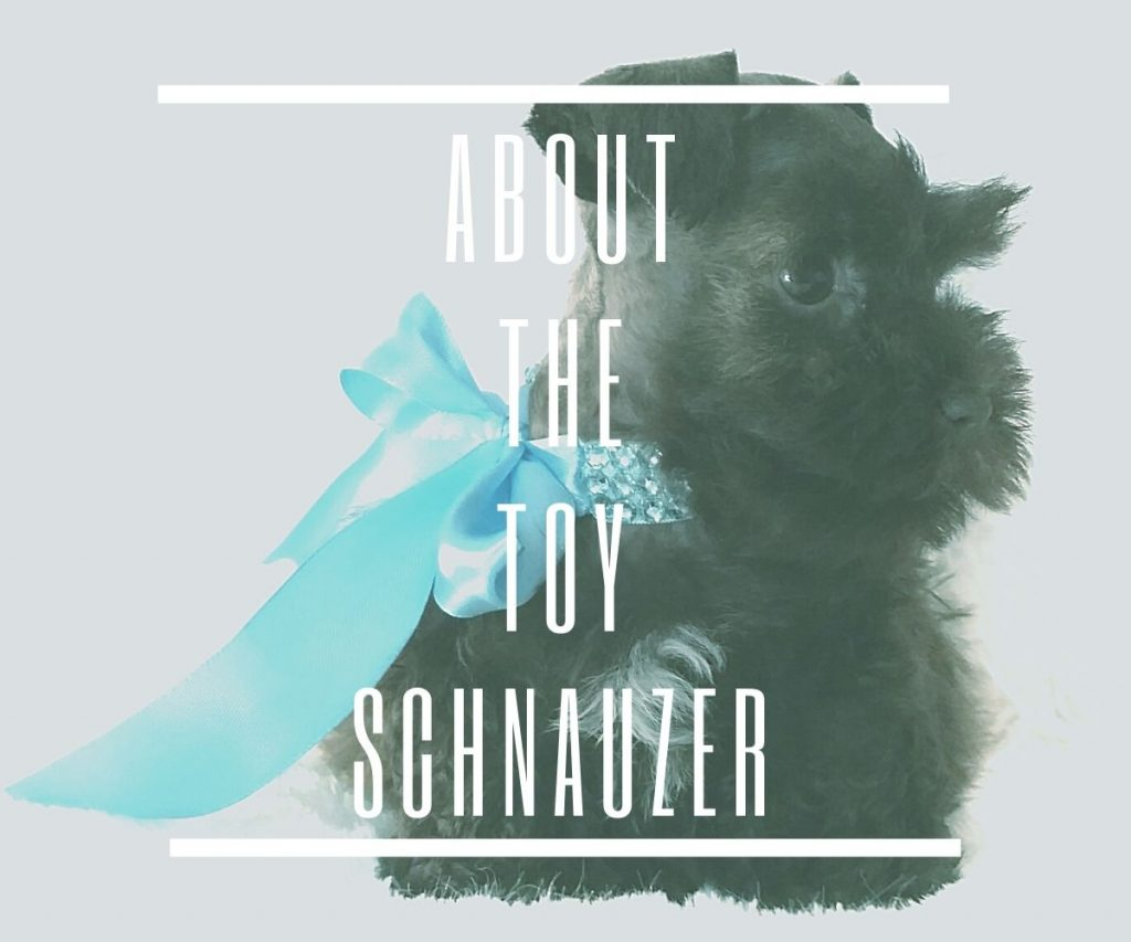 about-the-toy-schnauzer
