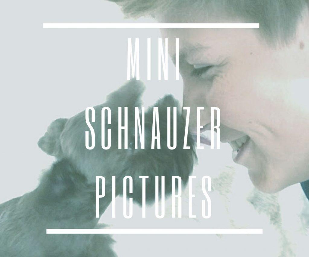 mini-schnauzer-pictures