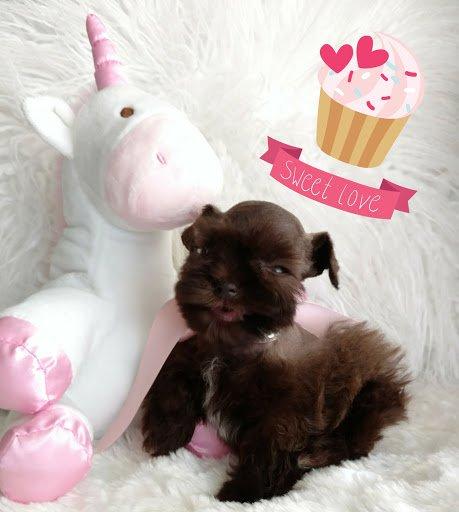 silly-miniature-schnauzer-puppy