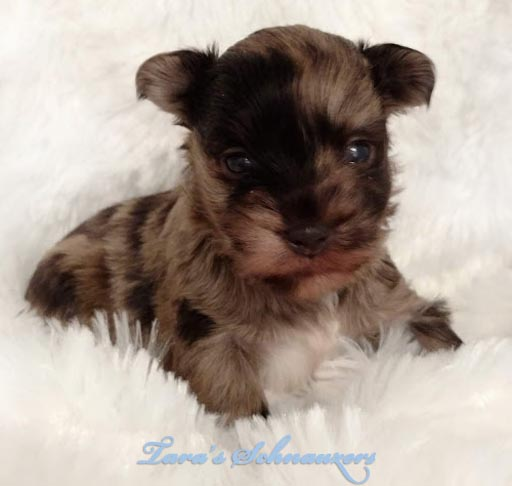 merle-schnauzer-baby-puppy-taras-schnauzers