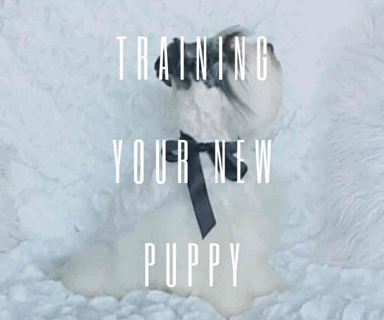 training-your-miniature-schnauzer-puppy