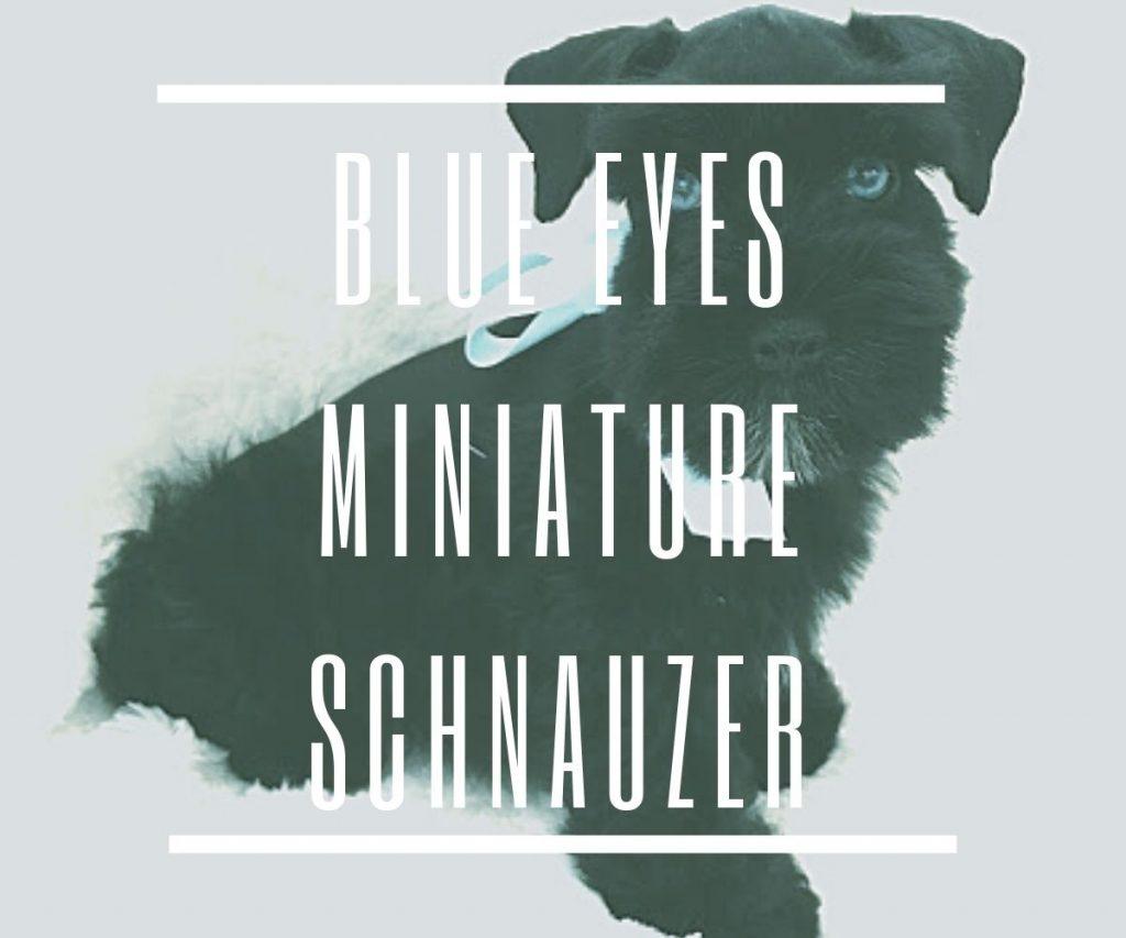 blue-eyes-miniature-schnauzer