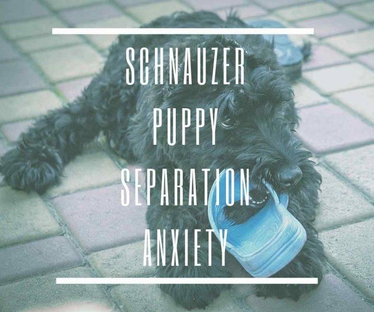 schnauzer-puppy-separation-anxiety