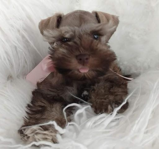taras-schnauzers-puppy