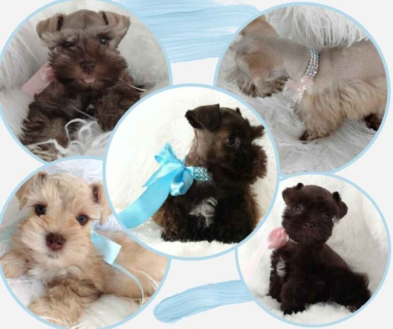 taras-schnauzers-past-puppies