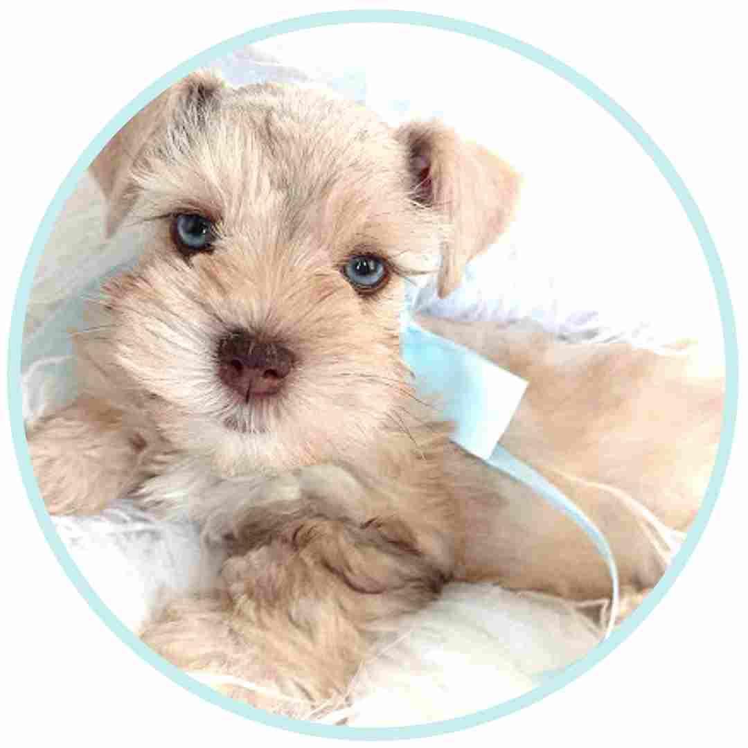 tara's schnauzers puppy (1)