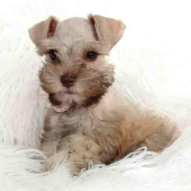 tara's schnauzers puppy (10)