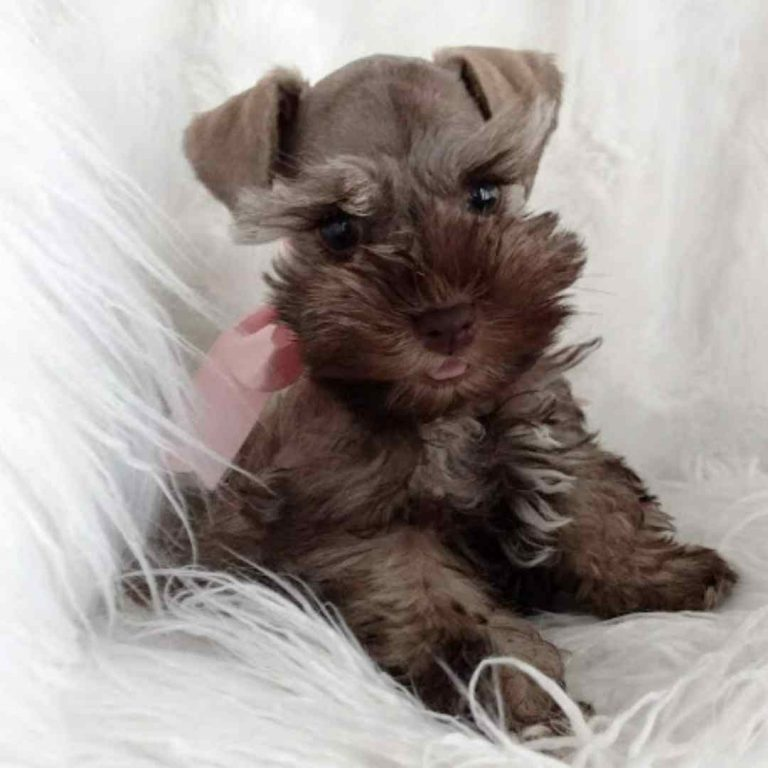 tara's schnauzers puppy (11)