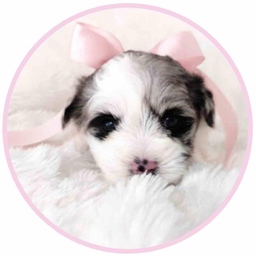 tara's schnauzers puppy (2)