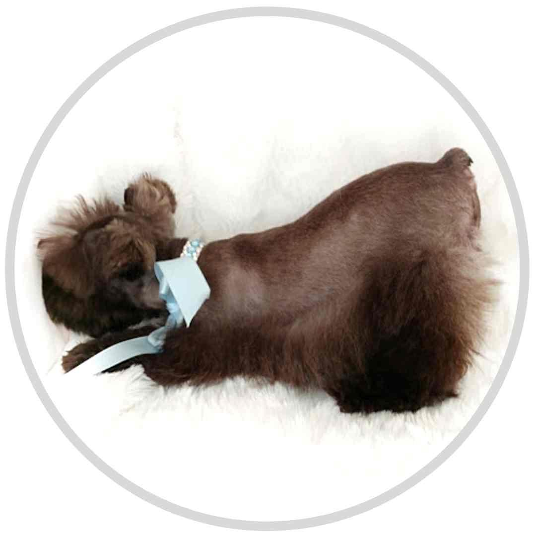 tara's schnauzers puppy (4)