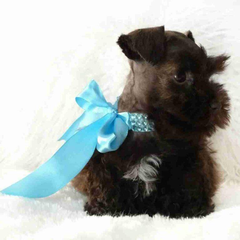 tara's schnauzers puppy (8)