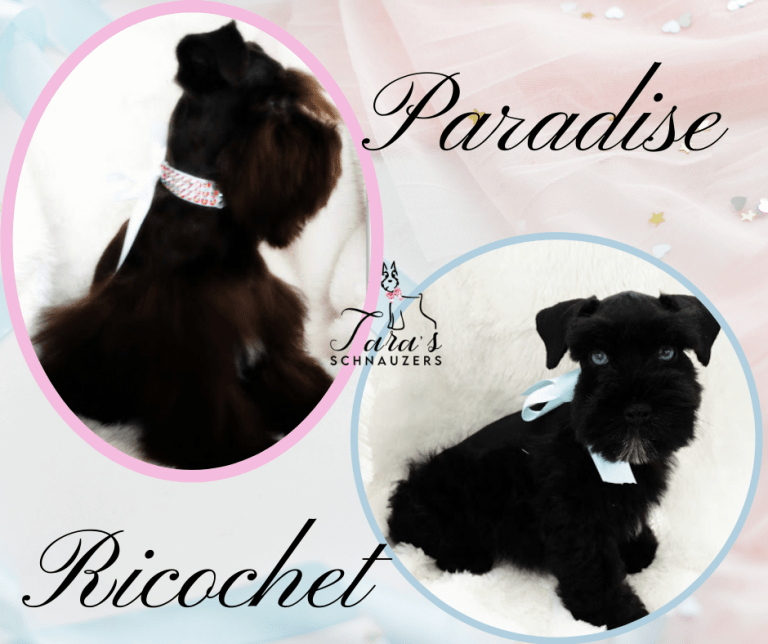 Miniature_Schnauzer_Puppies_for_sale_franklin_tennessee