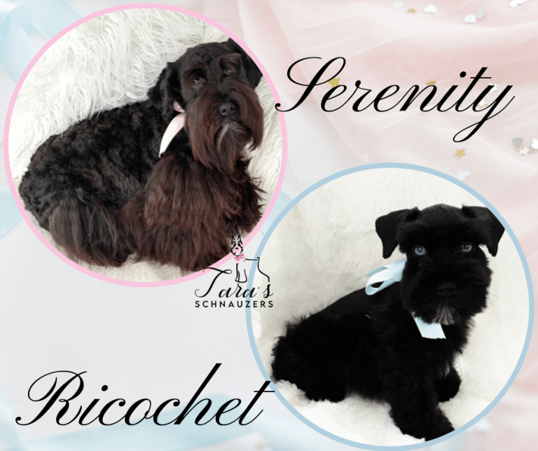 Miniature-Schnauzer-Puppies-for-sale-franklin-tennessee