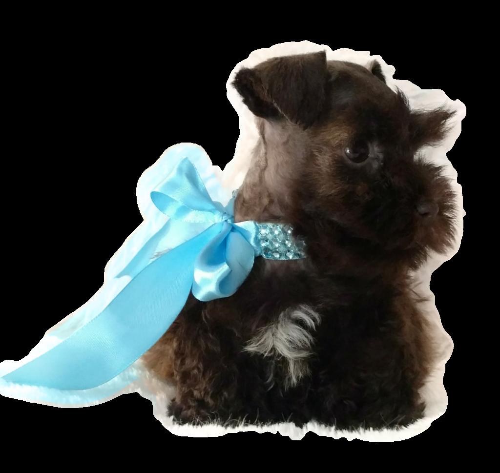 Taras-Schnauzers-Miniature-Schnauzer-Puppies-For-Sale-Tennessee