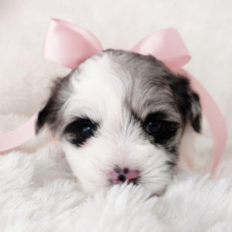 Tara's Schnauzers Mini Schnauzer Puppies (1)