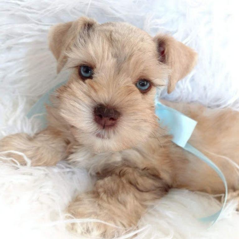 Tara's Schnauzers Mini Schnauzer Puppies